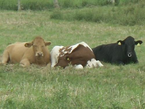 3 Kühe